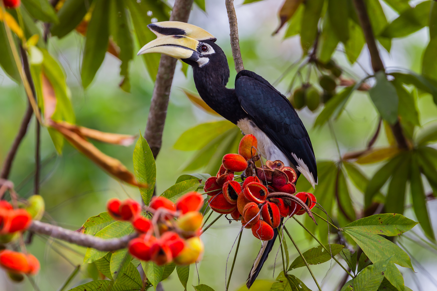 Mulu Park is home to eight hornbill species